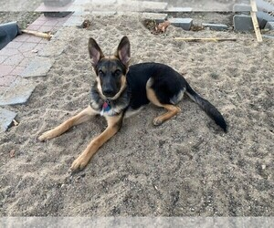 German Shepherd Dog Puppy for Sale in FARIBAULT, Minnesota USA