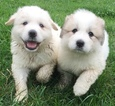 Great Pyrenees Puppy For Sale in LYNCHBURG, TN, USA