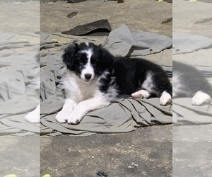 Australian Shepherd Puppy for sale in MCALESTER, OK, USA