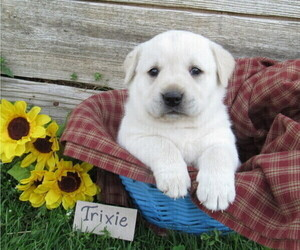 Labrador Retriever Dog for Adoption in LOUDONVILLE, Ohio USA
