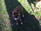 Boxer-Unknown Mix Dog For Adoption in TAYLORS, SC