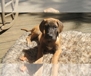 Great Dane Puppy for sale in PALM CITY, FL, USA