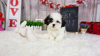Mal-Shi Dog for Adoption in FULLERTON, California USA