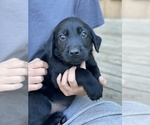 Puppy 2 Labrador Retriever