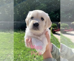 Golden Retriever Puppy for sale in HOLLAND, MI, USA