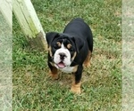 Olde English Bulldogge Puppy For Sale in LAKE NEPESSING, MI, USA