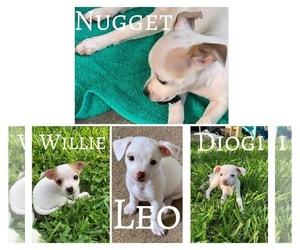 Jack Chi Dog for Adoption in CORPUS CHRISTI, Texas USA