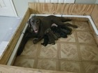 AKC Registered Puppies For Sale