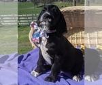 Puppy 1 Dalmadoodle