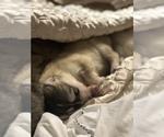 Small Photo #15 Wolf Hybrid Puppy For Sale in FILLMORE, LA, USA