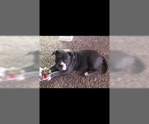 American Bully Puppy for sale in WESTERVILLE, OH, USA