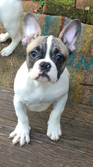 French Bulldog Puppy For Sale in SAN FRANCISCO, CA
