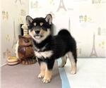 Small #2 Shiba Inu