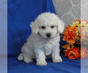 Bichon Frise Puppy for sale in GORDONVILLE, PA, USA