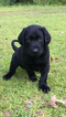 Labrador Retriever Puppy For Sale in BROOKLET, GA,
