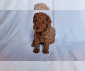 Poodle (Toy) Puppy for sale in MIDDLEBURG, FL, USA