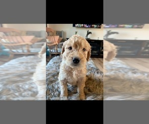Goldendoodle Puppy for sale in RATHDRUM, ID, USA