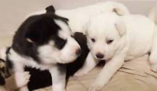Siberian Husky Puppy for sale in NEW YORK, NY, USA