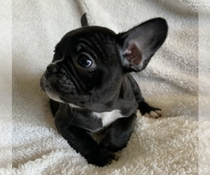 French Bulldog Puppy for sale in MBORO, TN, USA