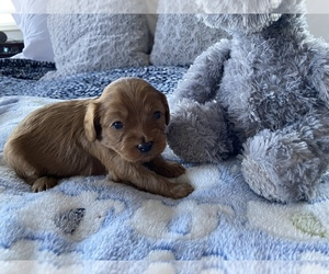 Cavapoo Puppy for sale in FORT COLLINS, CO, USA