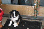 English Shepherd Puppies For Sale