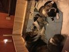 Shetland Sheepdog Puppy For Sale in GIRARD, PA
