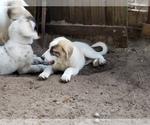 Small #835 Anatolian Shepherd-Maremma Sheepdog Mix