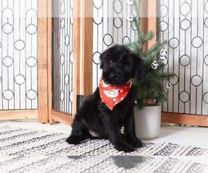 Schnauzer (Giant) Puppy for sale in NAPLES, FL, USA