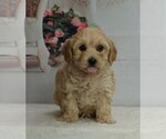 Puppy 2 Maltipoo-Poodle (Toy) Mix