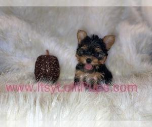 Yorkshire Terrier Dog for Adoption in HAYWARD, California USA