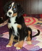 Bernese Mountain Dog Puppy For Sale in FRANCISCO, Indiana,