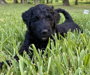 Goldendoodle-Poodle (Standard) Mix Puppy for sale in TIMPSON, TX, USA