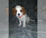 Puppy 0 Cavalier King Charles Spaniel