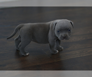 American Bully Puppy for Sale in OGDEN DUNES, Indiana USA