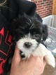 Coton de Tulear Puppy For Sale in MEMPHIS, IN