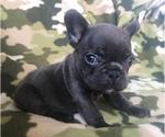 Small #33 French Bulldog
