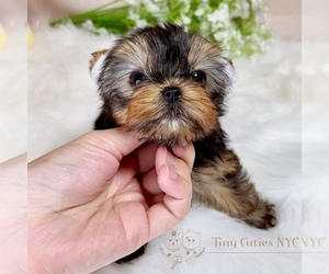 Yorkshire Terrier Puppy for sale in ASTORIA, NY, USA