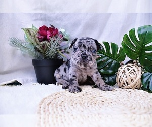 French Bulldog Puppy for sale in LONG ISLAND CITY, NY, USA