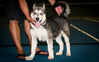 Alaskan Malamute Puppy For Sale in EWA BEACH, HI, USA