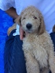 Poodle (Standard) Puppy For Sale in KLAMATH FALLS, OR, USA