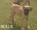 Great Dane Puppy For Sale in ENID, OK,