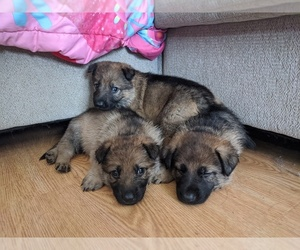 German Shepherd Dog Puppy for sale in AVILLA, IN, USA