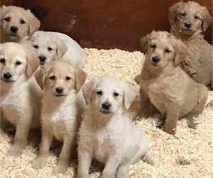 Labradoodle Puppy for Sale in EASTON, Massachusetts USA