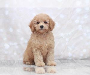 Cock-A-Poo Puppy for sale in MARIETTA, GA, USA