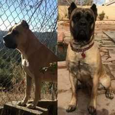 Cane Corso Puppy for sale in LAS VEGAS, NV, USA