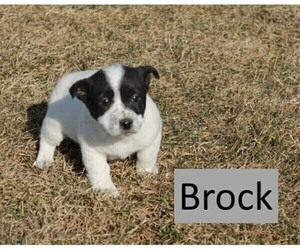 Jack Russell Terrier Mix Puppy for Sale in WOODWARD, Pennsylvania USA