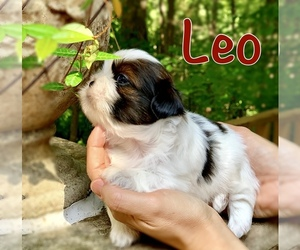 Mal-Shi-Shih Tzu Mix Puppy for Sale in BUFORD, Georgia USA
