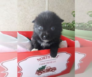 Pomsky Puppy for sale in KOKOMO, IN, USA