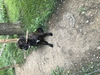 Mastiff Puppy For Sale in PERRYOPOLIS, PA,