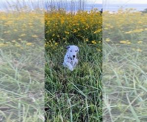 Dalmatian Puppy for Sale in RUFFIN, North Carolina USA